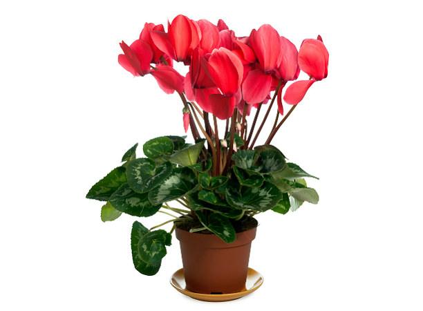 комнатные цветы которые дают аллергию фото