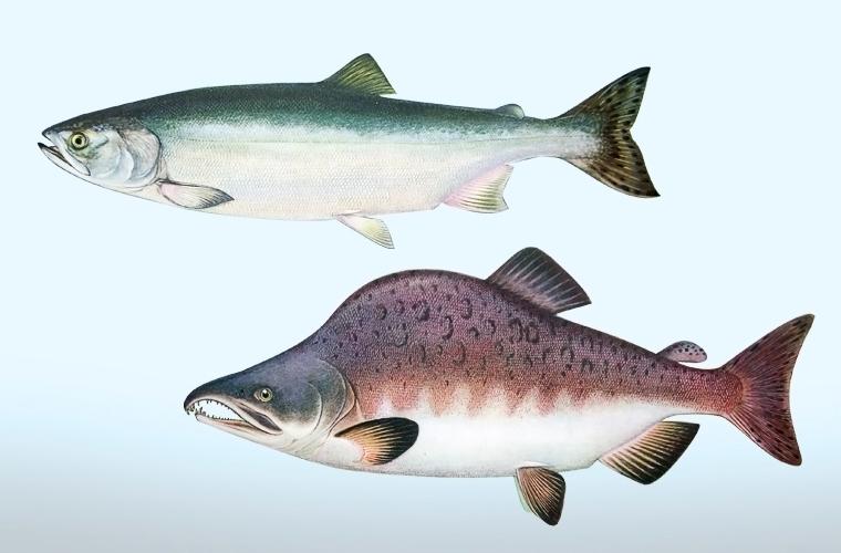 виды лососевых картинки начинаем