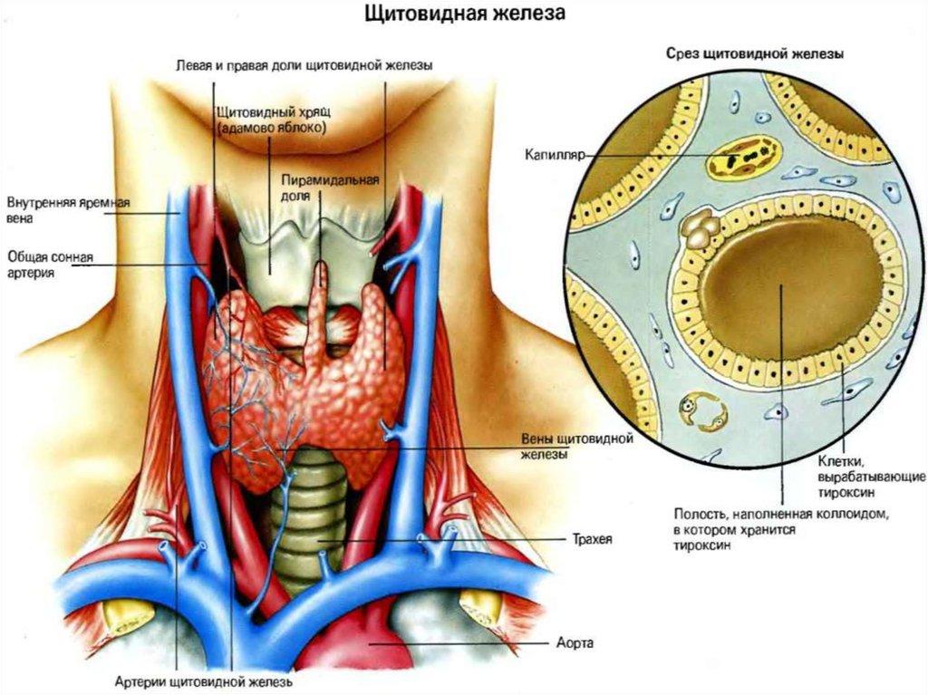 Картинки по запроÑу щитовидной железы