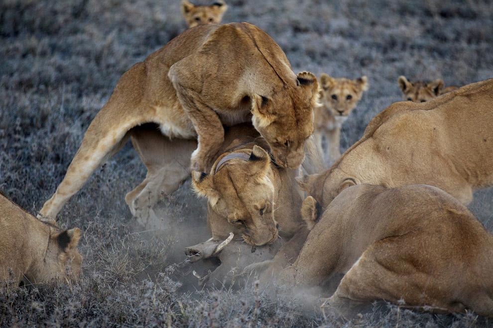 жизнь львов в дикой природе видео - 2