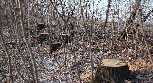 Горожане возмутились уничтожению деревьев на улице Толстого