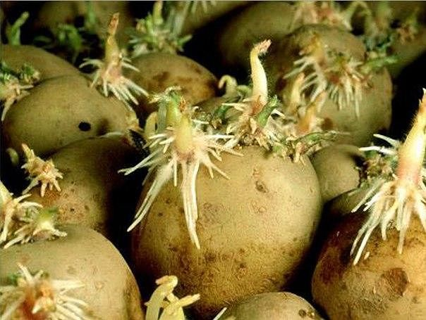 Ростки картофеля обрезаю