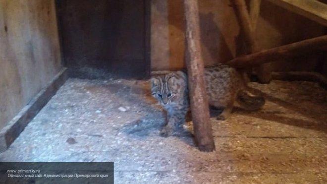 В Приморье горожанин спас редкого лесного кота