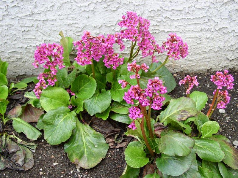 Любитель тени бадан украсит сад и исцелит