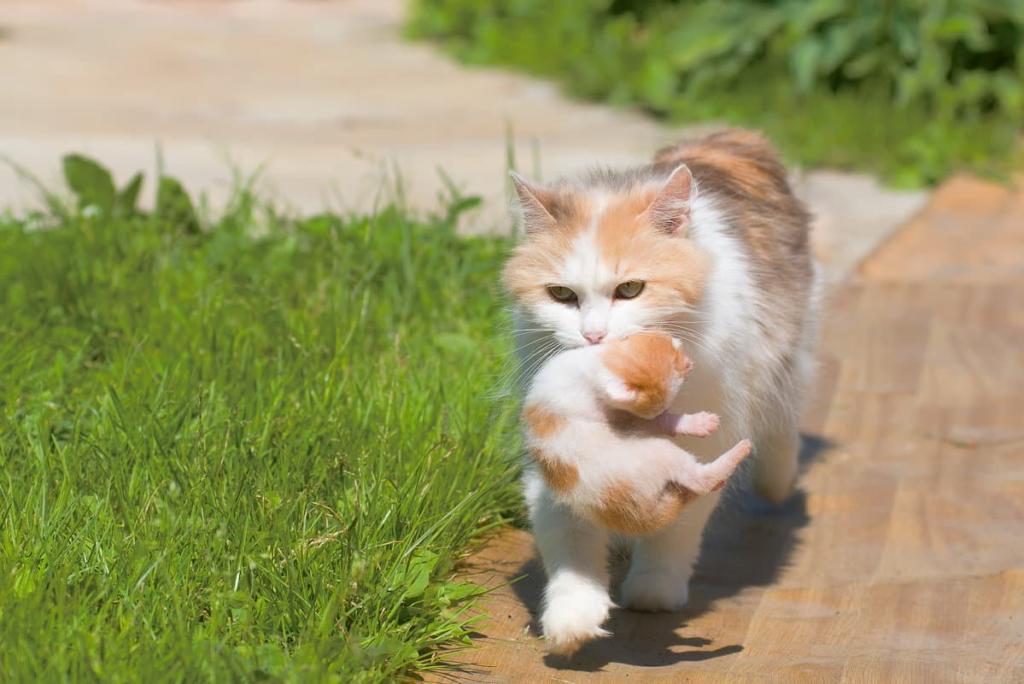 "Картинки по запросу ""кошка несет котенка в зубах"""
