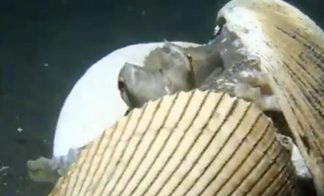 Осьминог увидел под водой дайвера, взял со дна несколько ракушек и сделал из них защиту: видео