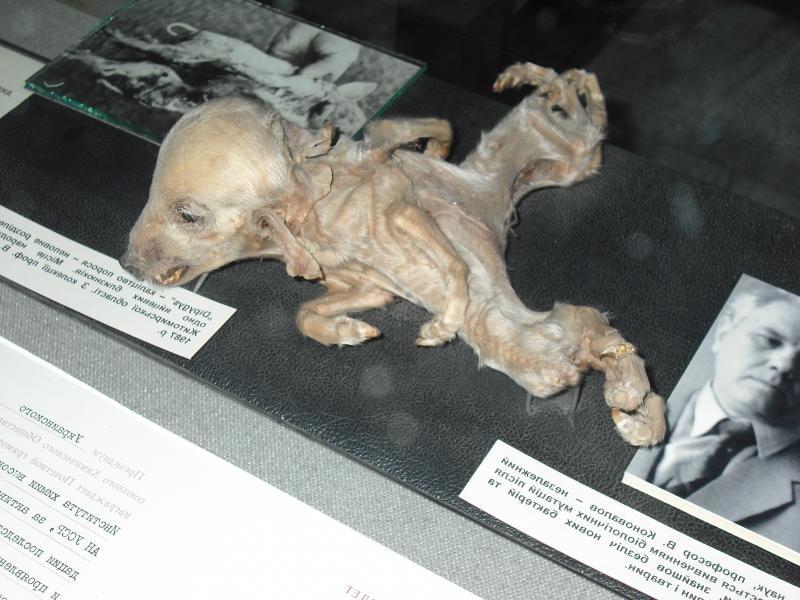 Пример мутации животного Чернобыль, чернобыльская катастрофа