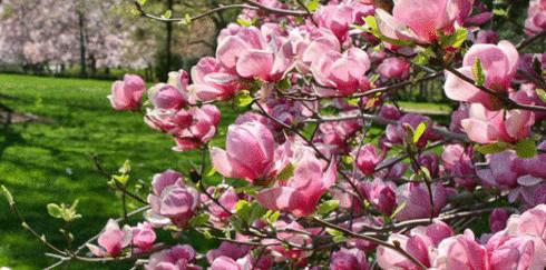 Магнолия  — дерево целомудрия на Вашем участке