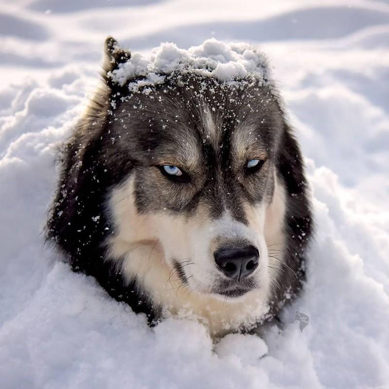 Картинки собак хаски и волков