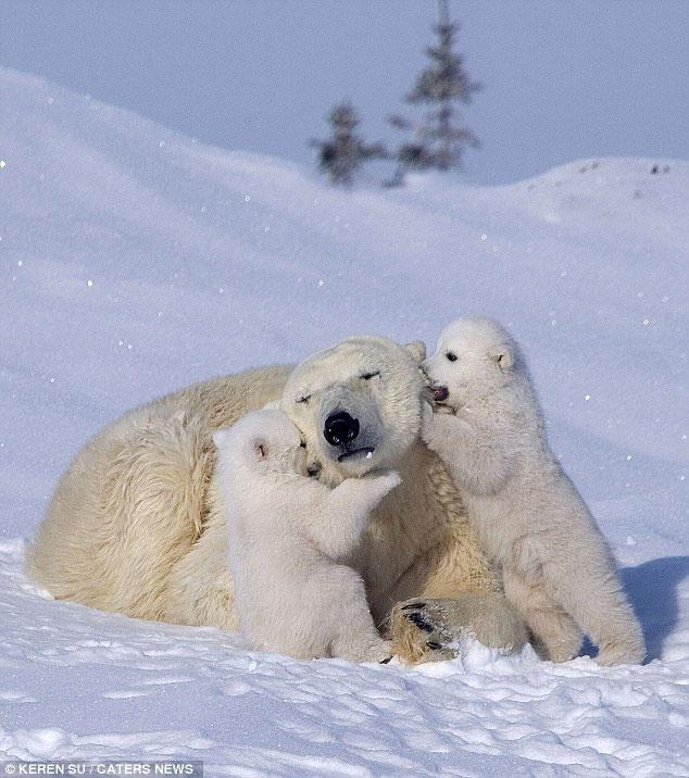 Картинки белые медвежата и мама, пасхе презентация