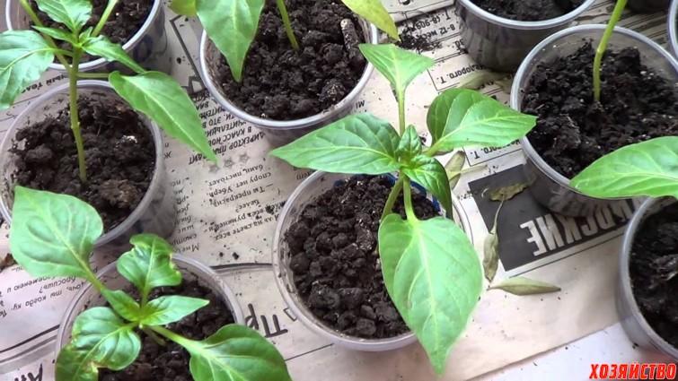 Проблемы с рассадой баклажанов и пути их решения 34
