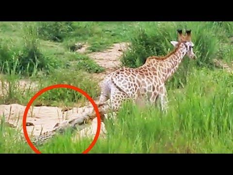 Битва между крокодилом и жирафом