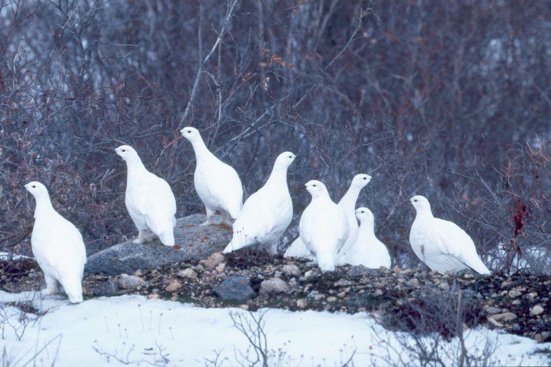 Охота по белой куропатке лайка по