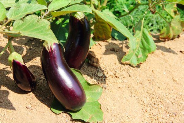 Баклажан: 7 секретов агротехники