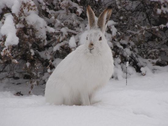 За зайцем по снегу