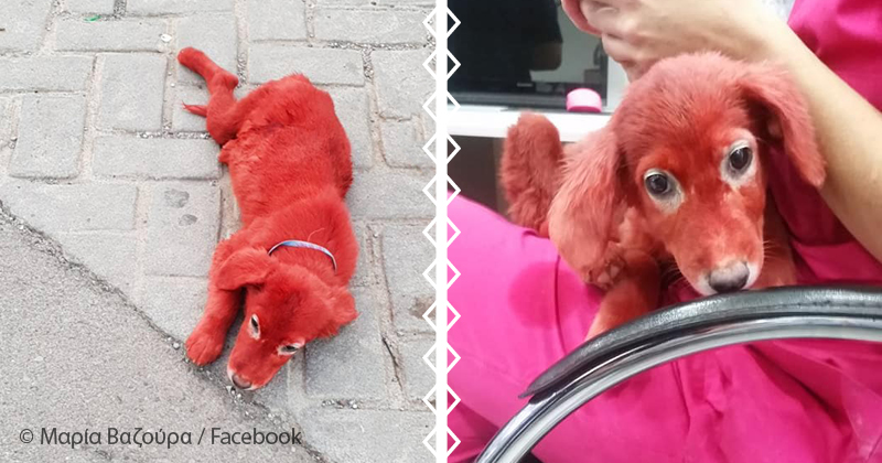Активисты спасли собаку от бездушного хозяина, который перекрасил ее в красный цвет. Его мотив ужасен!