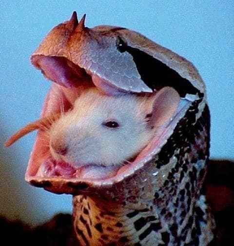 1. Крыса просто уснула в гадюке? животные, природа, ужас