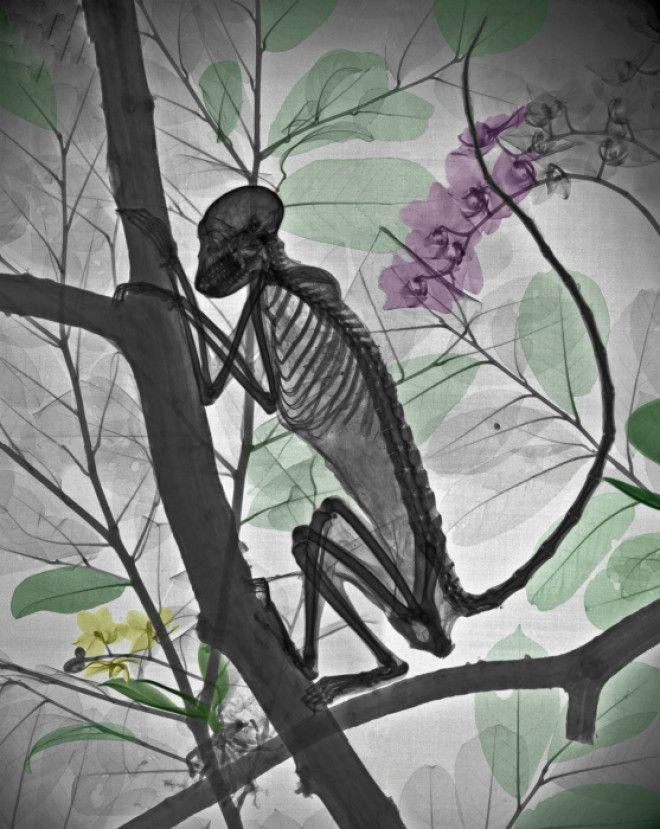 Обезьянка в рентгеновских лучах