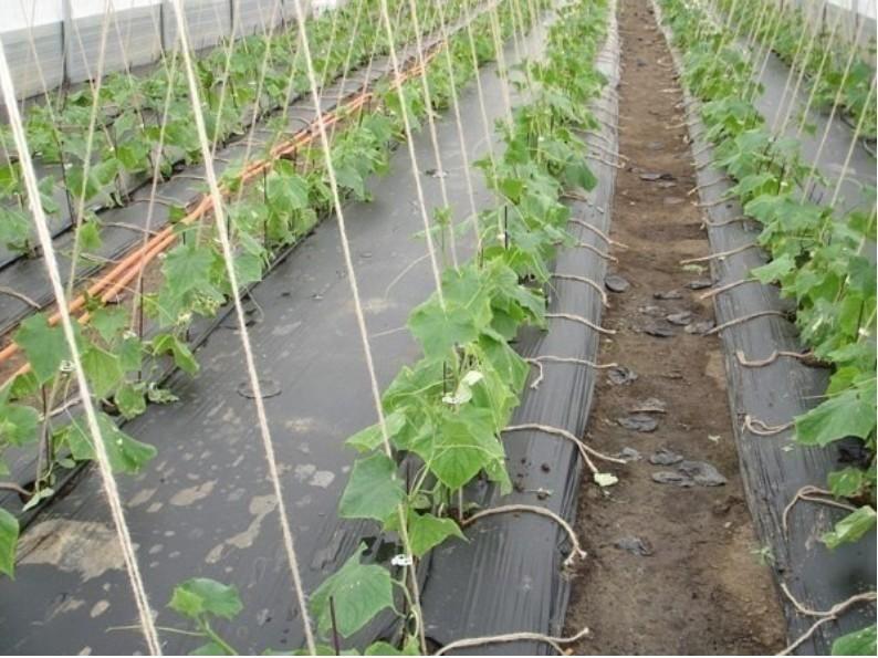 Огурцы на пленке - выращивае…