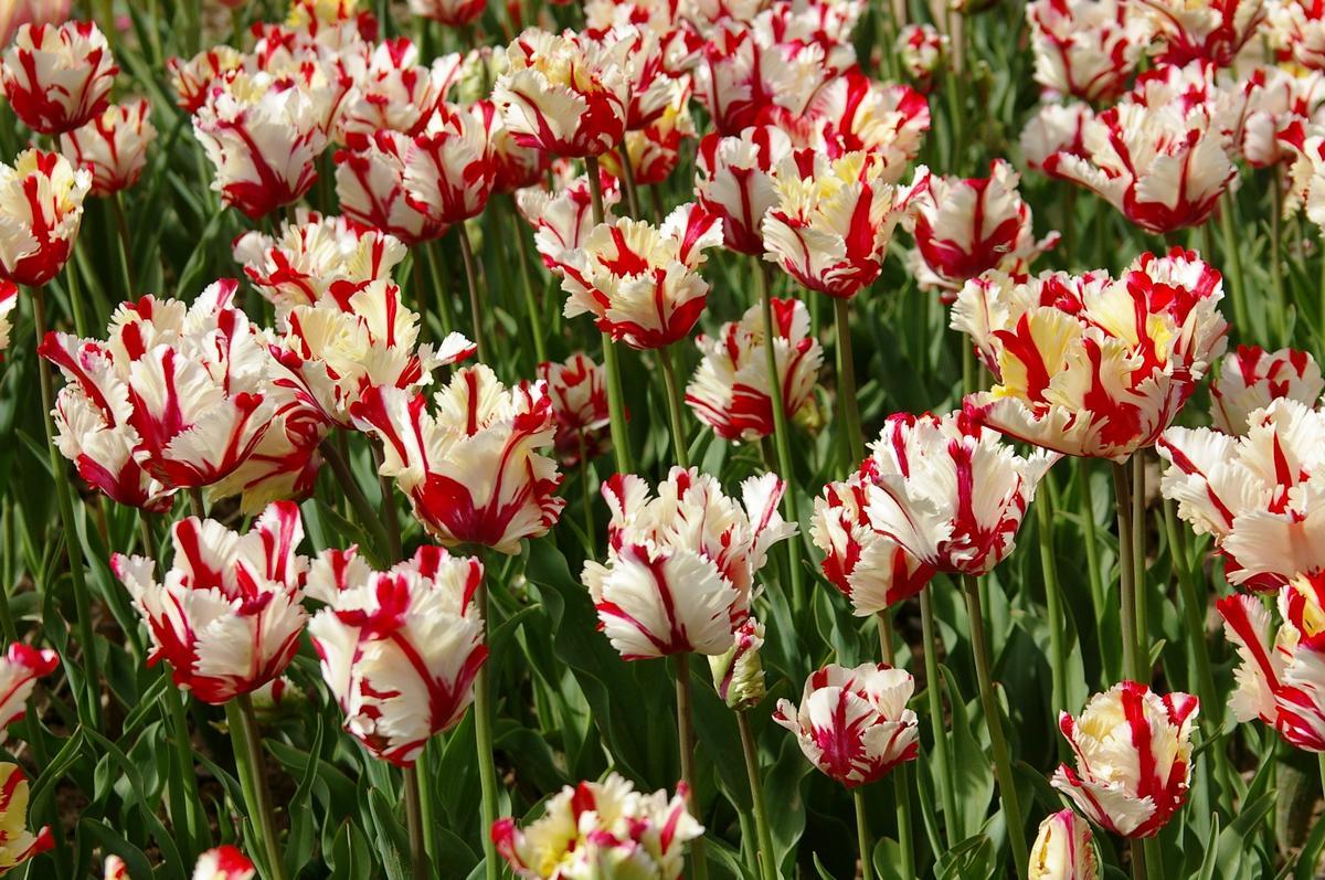 Попугайные тюльпаны: подборка самых эффектных сортов