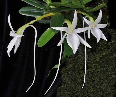 Орхидея Ангрекум уход.