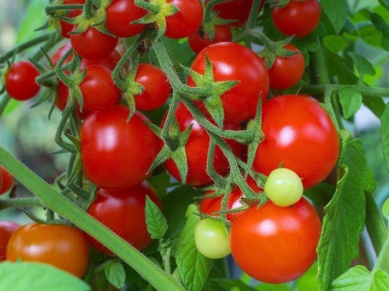 Пара главных условий и никаких трещин на помидорах!