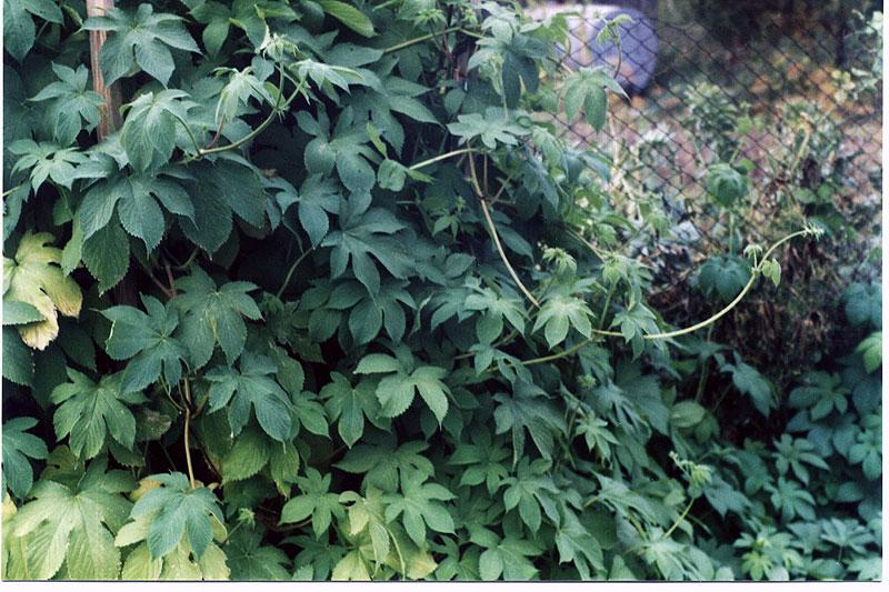 Дикий хмель растение