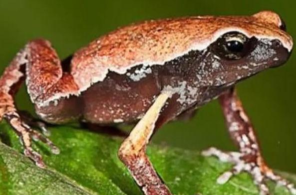 В Индии найдена загадочная лягушка
