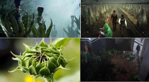 Из лабораторий генетиков США сбежал Helianthus triffidus – подсолнух-убийца