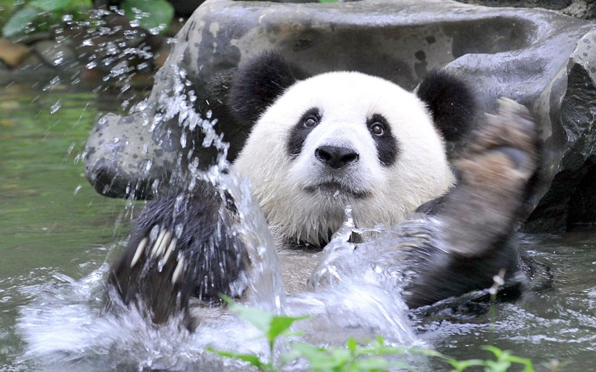 Мама-панда пытается затащить малыша в воду - забавное видео