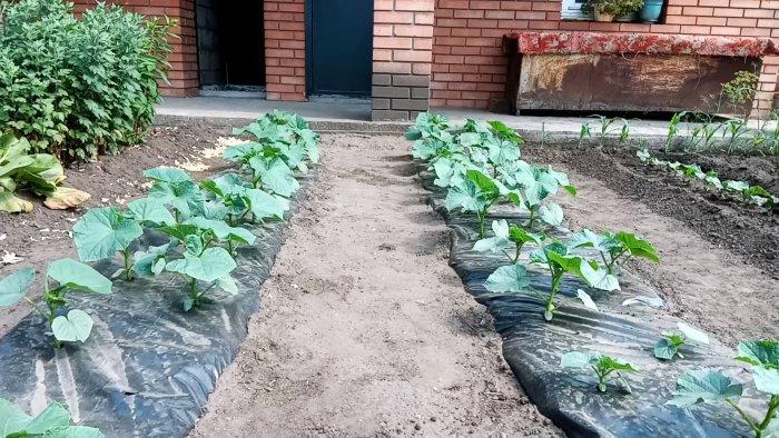 Лайфхак огороднику: Сажаем огурцы под пленку и забываем про полив на весь сезон дача,овощи,полезные советы,сад и огород
