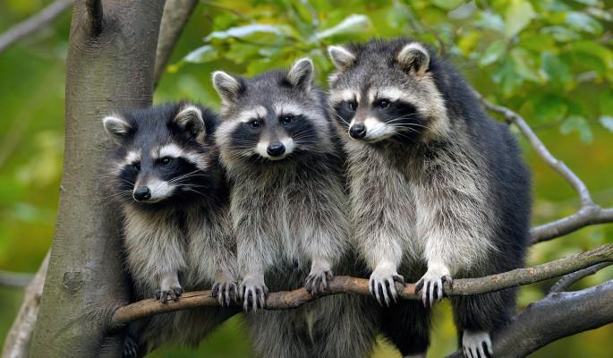 Три енота устроили потасовку…