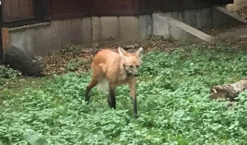В Московский зоопарк приехала молодая самка гривистого волка