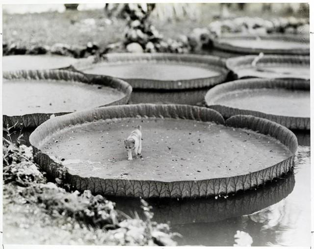 Котёнок на водяной лилии Виктория в Филиппинах, 1935 год national geographic, неопубликованное, фото