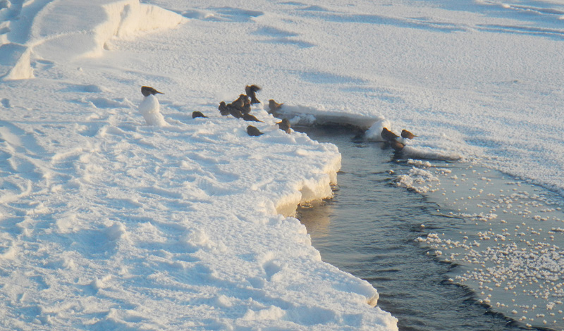 История появления моржей