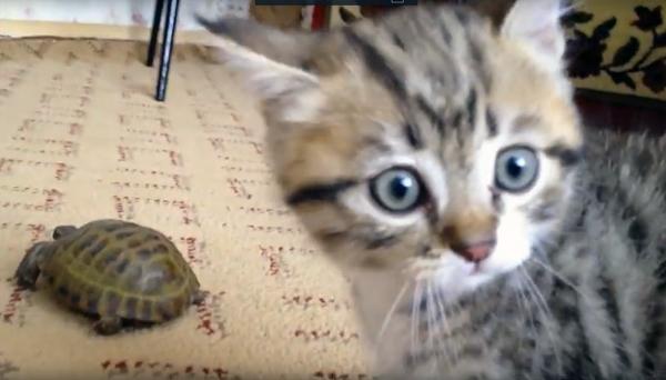 Котенок впервые увидел черепаху. Его реакция — сплошной позитив!