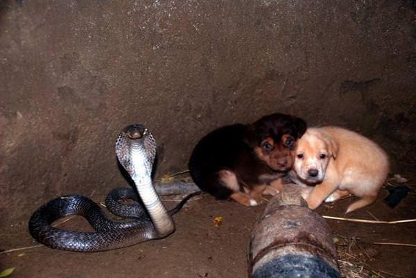 В ЭТО сложно поверить! История двух очаровательных щенков, которые в отсутствии матери упали в глубокую яму с Коброй! истории из жизни