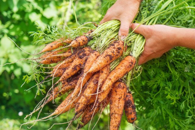 Что полезнее — вершки или корешки морковки? готовим дома,дача,сад и огород