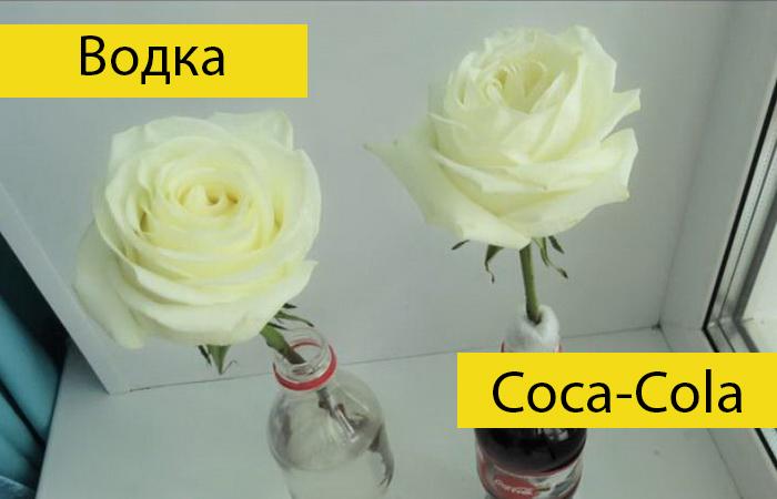 Водка или Coca-Cola: Российский блогер провел эксперимент, в чем розы простоят дольше
