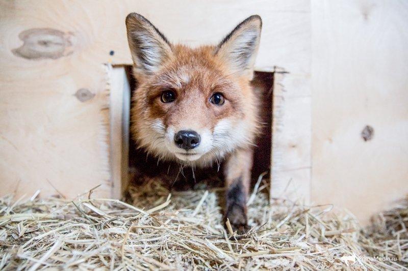 Как разводят домашних лисиц во Владивостоке