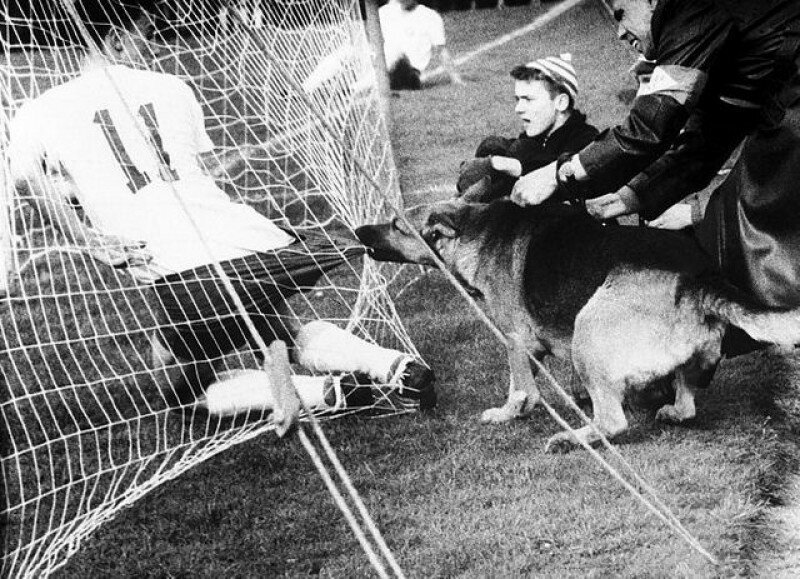 5. Полицейская собака во время матча в Кельне (Германия) не очень довольна футболистами, 1959 год интересно, исторические фото, история, ностальгия, фото