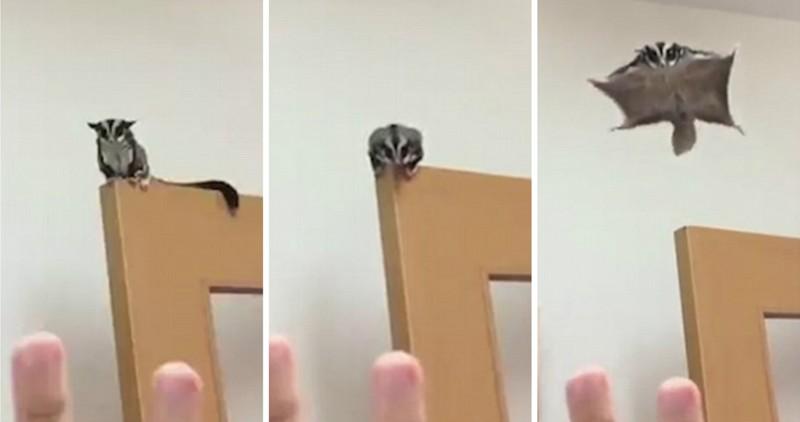 А мне летать охота: очаровательная сумчатая летяга прыгает с двери и приземляется на ладонь хозяйки