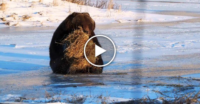 Медведь забавляется с сеном