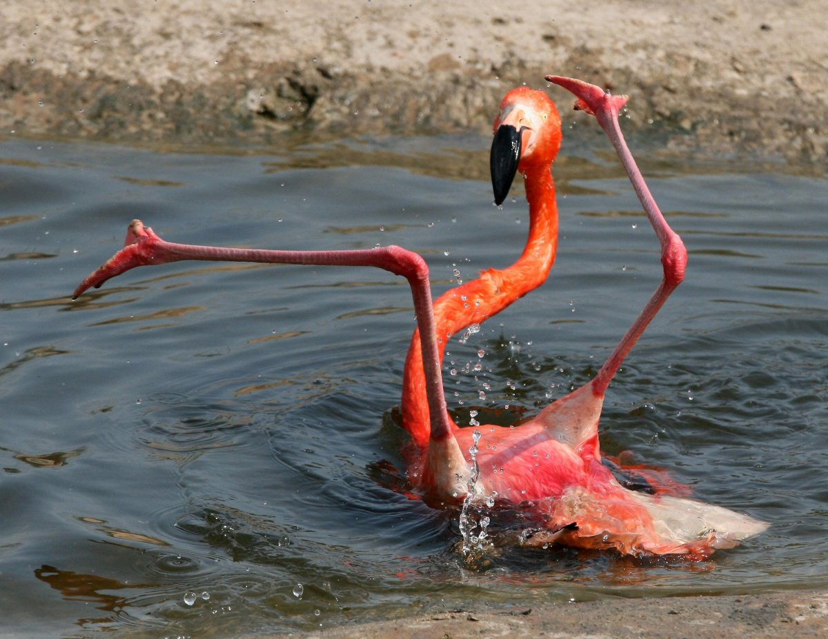 челси фламинго картинки приколы качестве белья