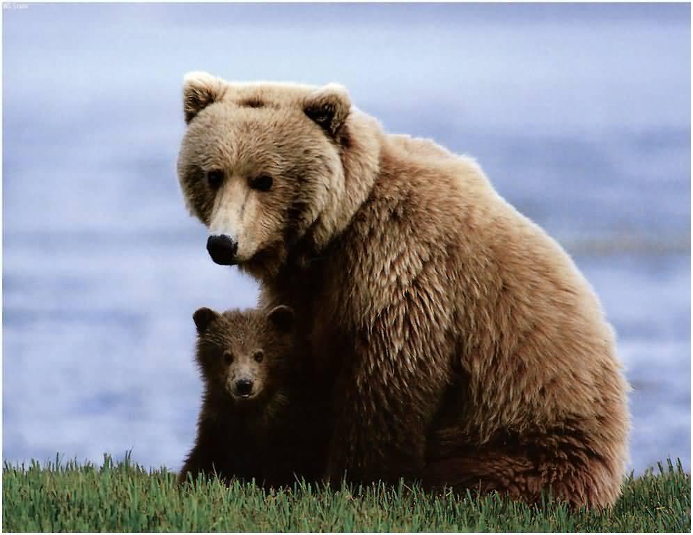 Медведица привела своего мед…