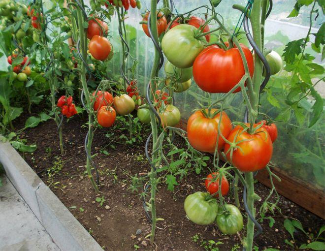 помидоры бычье сердце выращивание в теплице
