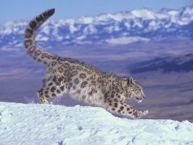 Редкие охраняемые животные: Ирбис, или снежный барс (Uncia uncia, Panthera uncia) дикая природа, животные, красная книга, редкие животные