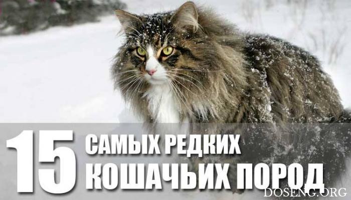 15 редких кошачьих пород со …