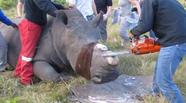 Ради защиты носорога они спи…