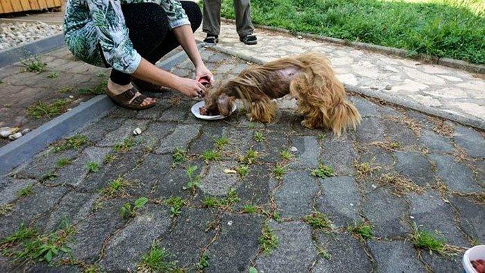 """""""Он был весь в блохах и клещах, изможден до костей"""" восстановление, животные, лечение, пес, преображение, спасение, хорватия"""